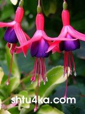 Фуксия-Растение с танцующими цветками